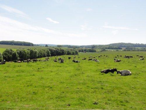 Vue sur le troupeau depuis la ferme Rémillet