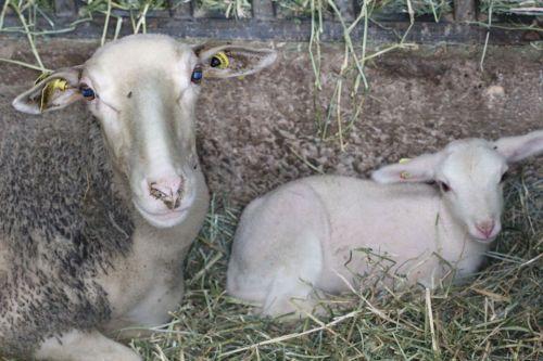 maman et bebe brebis
